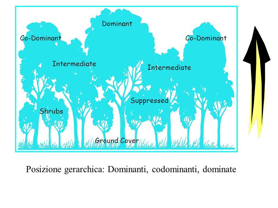 Co-Dominant Dominant Intermediate Suppressed Shrubs Ground Cover Posizione gerarchica: Dominanti, codominanti, dominate