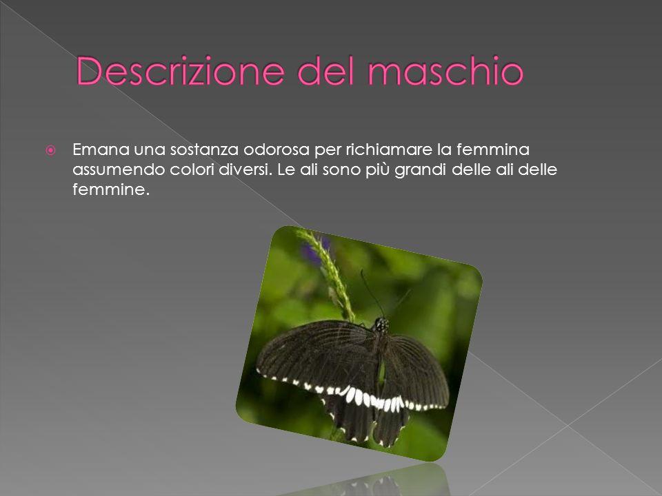 Emana una sostanza odorosa per richiamare la femmina assumendo colori diversi. Le ali sono più grandi delle ali delle femmine.