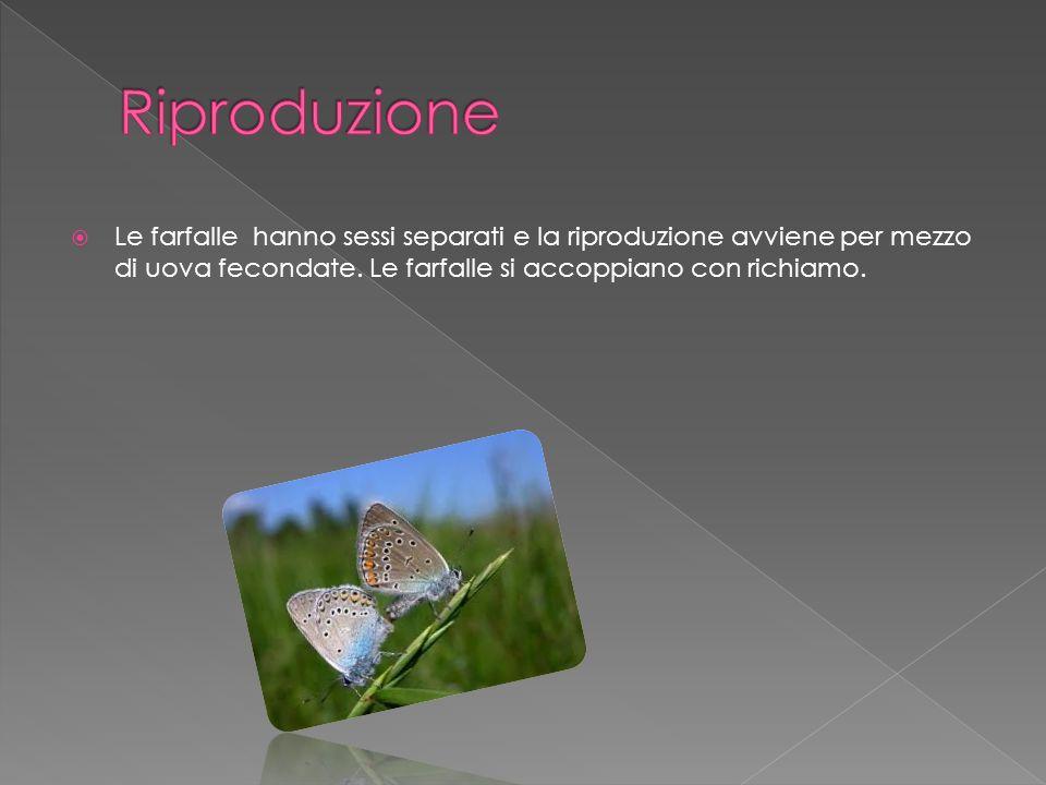 Le farfalle hanno sessi separati e la riproduzione avviene per mezzo di uova fecondate. Le farfalle si accoppiano con richiamo.