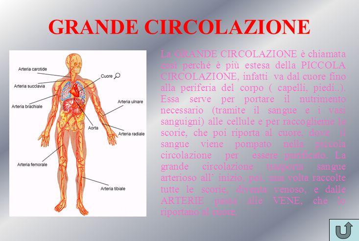 GRANDE CIRCOLAZIONE La GRANDE CIRCOLAZIONE è chiamata così perché è più estesa della PICCOLA CIRCOLAZIONE, infatti va dal cuore fino alla periferia de