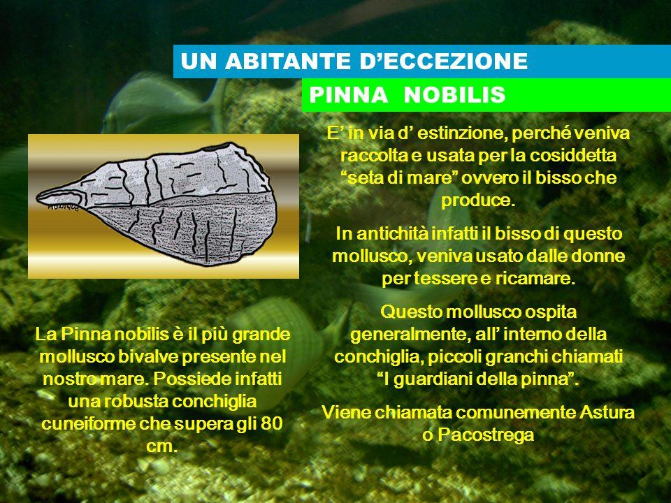 UN ABITANTE DECCEZIONE E in via d estinzione, perché veniva raccolta e usata per la cosiddetta seta di mare ovvero il bisso che produce. In antichità