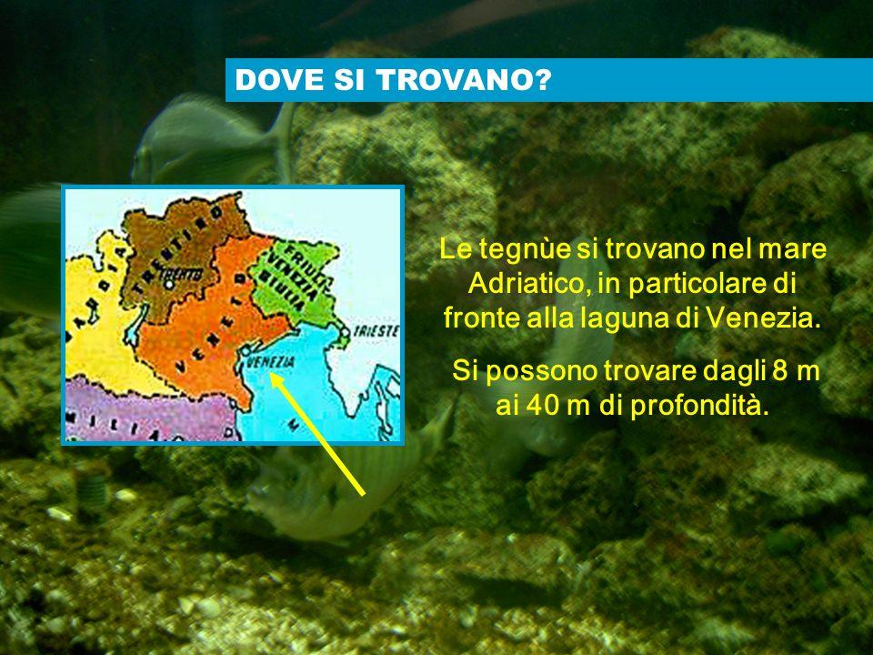 DOVE SI TROVANO? Le tegnùe si trovano nel mare Adriatico, in particolare di fronte alla laguna di Venezia. Si possono trovare dagli 8 m ai 40 m di pro