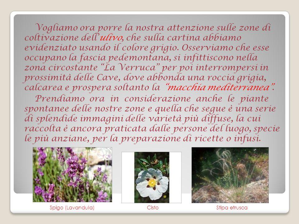 GinestraEricaCorbezzolo Finocchio selvatico Alloro Timo NepitellaOrigano selvatico Salvia selvatica Asparago selvatico MirtoOlivastro (Oleastro)