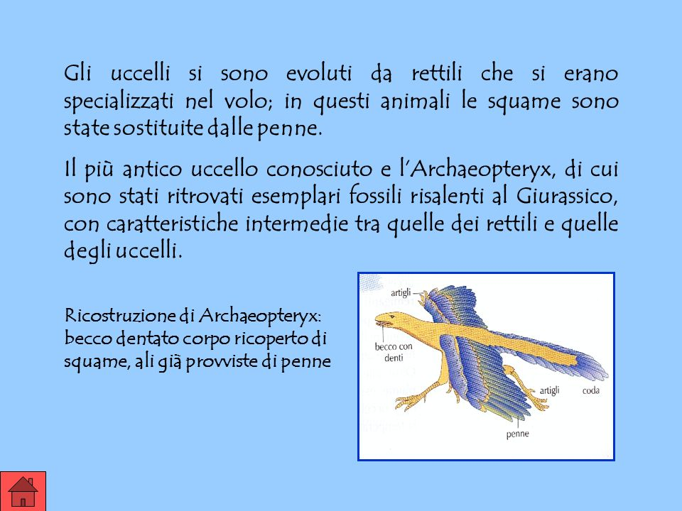 UCCELLI Solo gli animali omeotermi possono diffondersi in tutti gli ambienti del pianeta, anche in quelli freddi. Gli uccelli furono i primi animali d