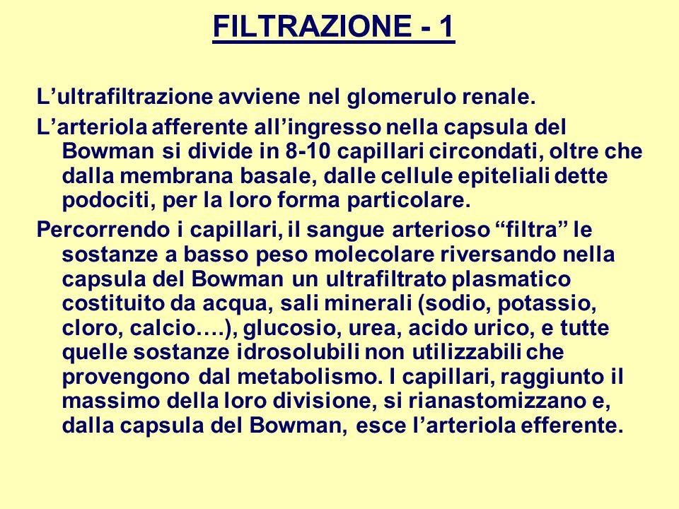 FILTRAZIONE - 1 Lultrafiltrazione avviene nel glomerulo renale. Larteriola afferente allingresso nella capsula del Bowman si divide in 8-10 capillari