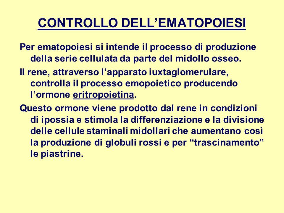 CONTROLLO DELLEMATOPOIESI Per ematopoiesi si intende il processo di produzione della serie cellulata da parte del midollo osseo. Il rene, attraverso l
