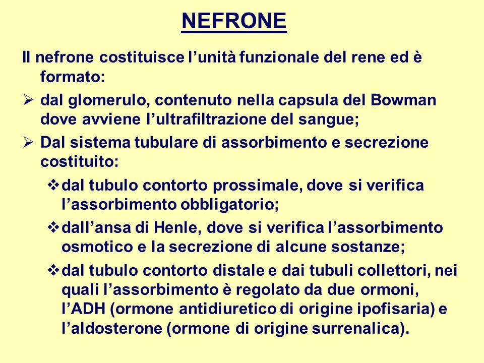 NEFRONE Il nefrone costituisce lunità funzionale del rene ed è formato: dal glomerulo, contenuto nella capsula del Bowman dove avviene lultrafiltrazio