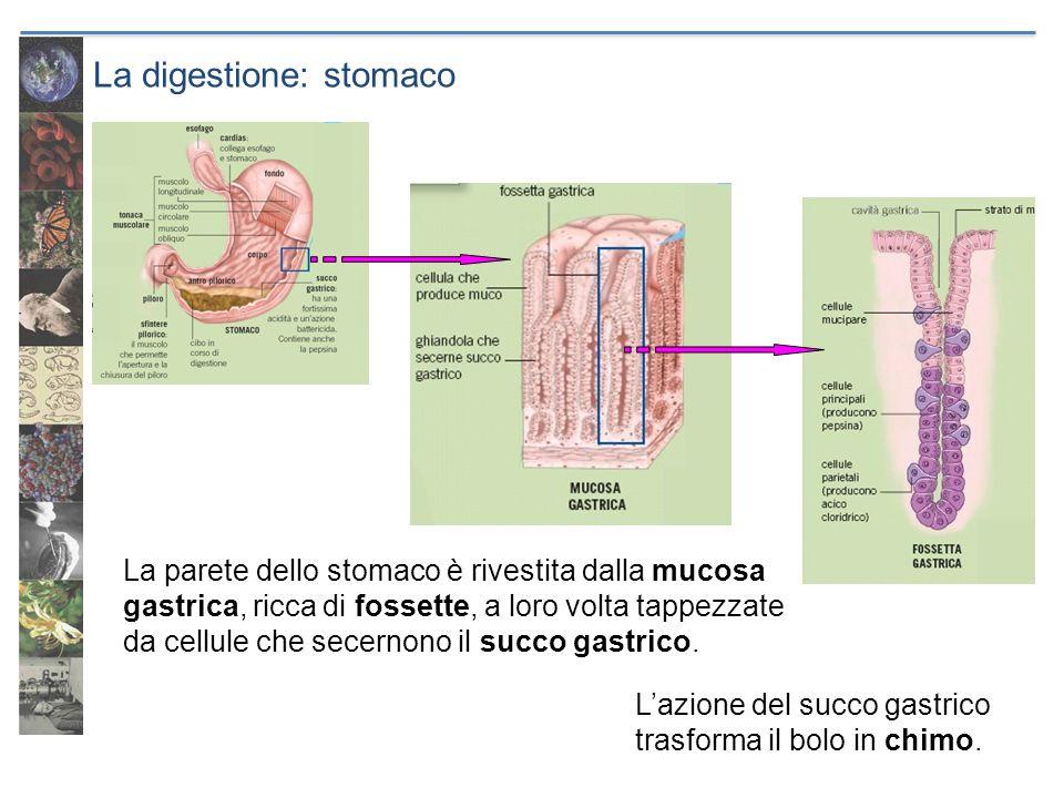 La digestione: stomaco La parete dello stomaco è rivestita dalla mucosa gastrica, ricca di fossette, a loro volta tappezzate da cellule che secernono