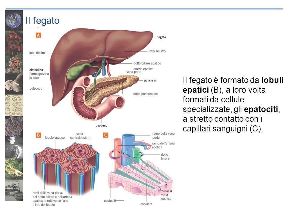 Il fegato Il fegato è formato da lobuli epatici (B), a loro volta formati da cellule specializzate, gli epatociti, a stretto contatto con i capillari