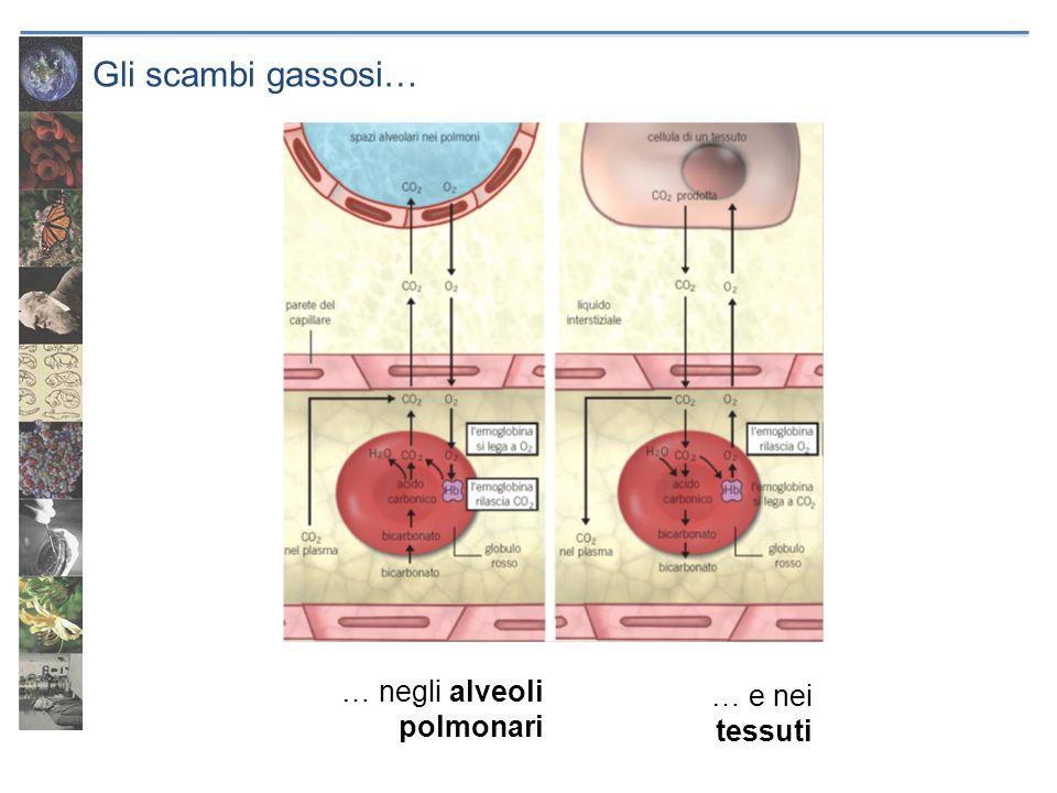 Gli scambi gassosi… … negli alveoli polmonari … e nei tessuti
