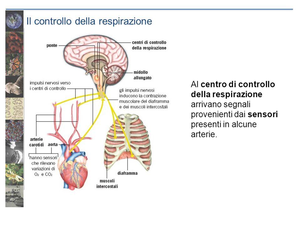 Il controllo della respirazione Al centro di controllo della respirazione arrivano segnali provenienti dai sensori presenti in alcune arterie.