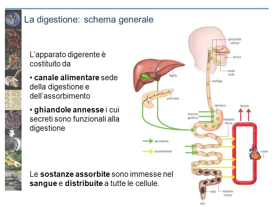 La digestione: schema generale Lapparato digerente è costituito da canale alimentare sede della digestione e dellassorbimento ghiandole annesse i cui