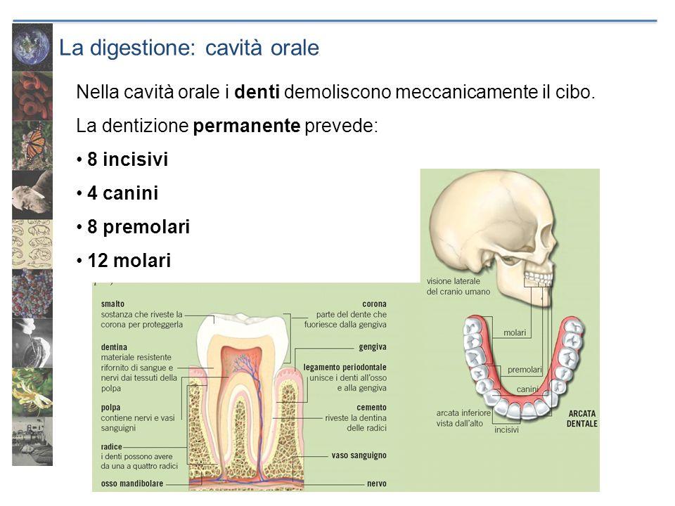La digestione: cavità orale Nella cavità orale i denti demoliscono meccanicamente il cibo. La dentizione permanente prevede: 8 incisivi 4 canini 8 pre