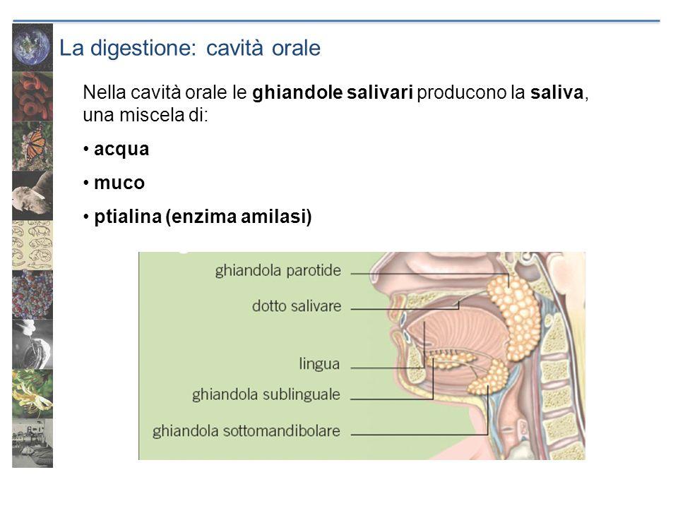La digestione: cavità orale Nella cavità orale le ghiandole salivari producono la saliva, una miscela di: acqua muco ptialina (enzima amilasi)