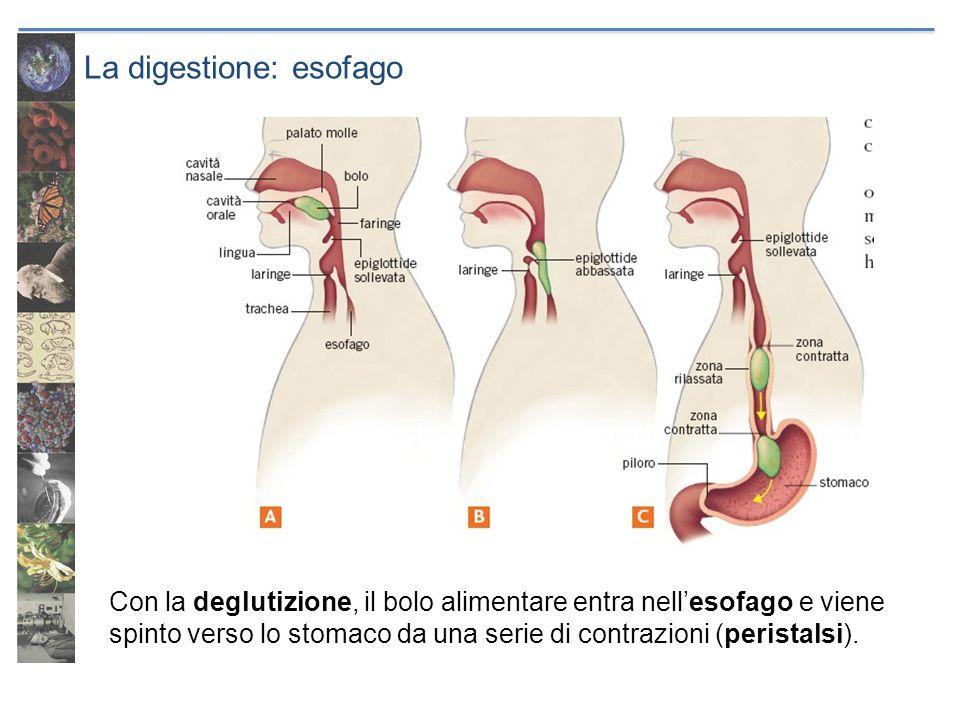 La digestione: esofago Con la deglutizione, il bolo alimentare entra nellesofago e viene spinto verso lo stomaco da una serie di contrazioni (peristal