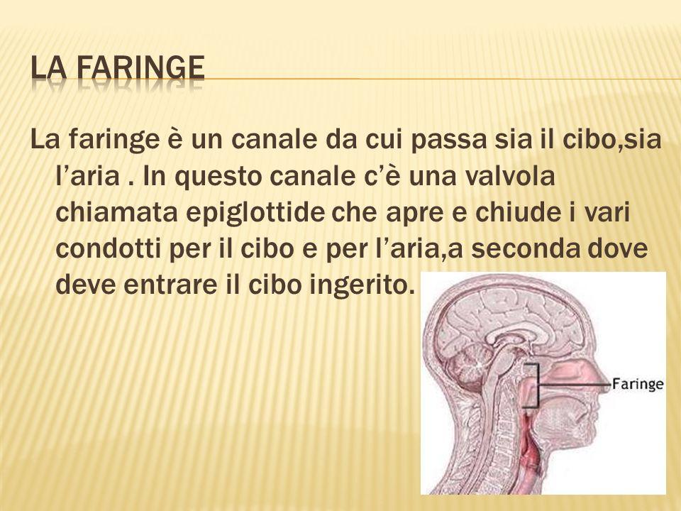 La faringe è un canale da cui passa sia il cibo,sia laria.