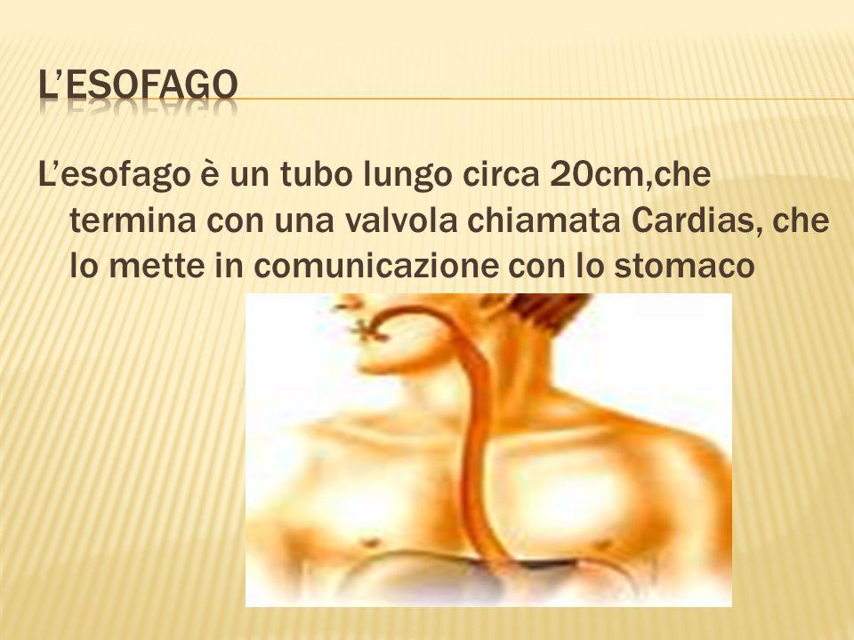 Lo stomaco è una specie di sacco,formata da tessuto liscio.