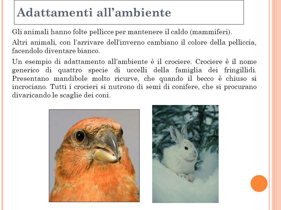 Adattamenti allambiente Gli animali hanno folte pellicce per mantenere il caldo (mammiferi). Altri animali, con larrivare dellinverno cambiano il colo