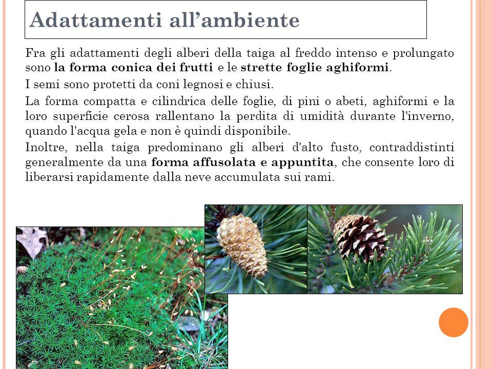 Adattamenti allambiente Fra gli adattamenti degli alberi della taiga al freddo intenso e prolungato sono la forma conica dei frutti e le strette fogli