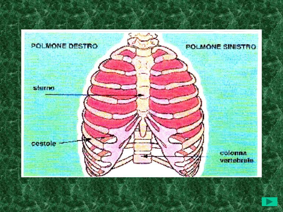 LAPPARATO RESPIRATORIO: parte inferiore I POLMONIPOLMONI I polmoni sono situati allinterno della gabbia toracica, che li protegge, e che è formata dal