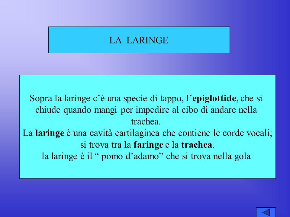 LA LARINGE Sopra la laringe cè una specie di tappo, lepiglottide, che si chiude quando mangi per impedire al cibo di andare nella trachea.