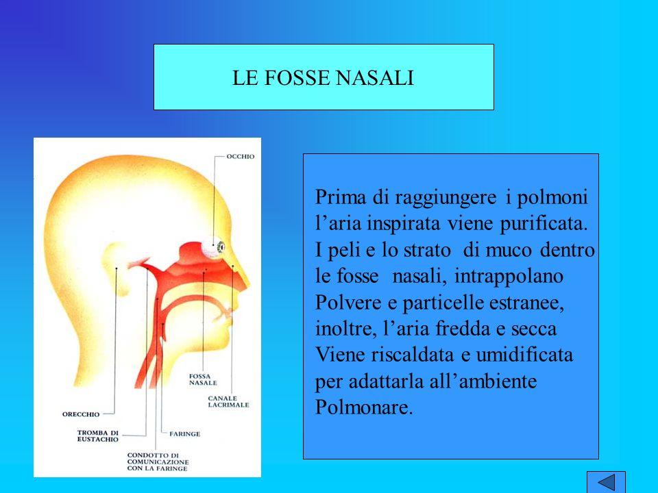 LE FOSSE NASALI Prima di raggiungere i polmoni laria inspirata viene purificata.
