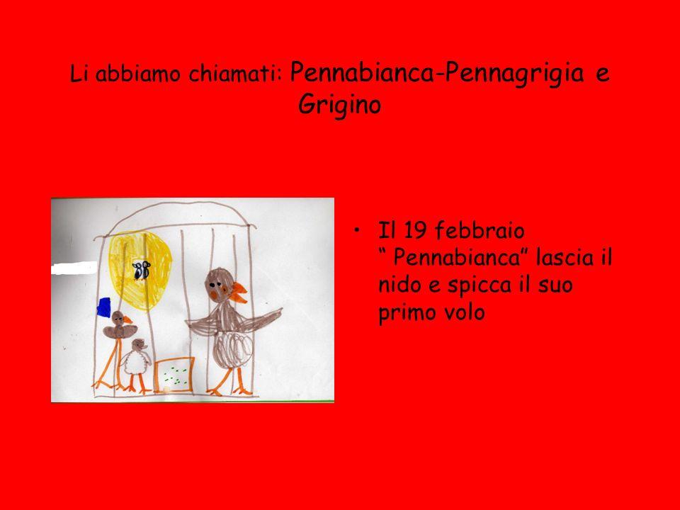 Li abbiamo chiamati: Pennabianca-Pennagrigia e Grigino Il 19 febbraio Pennabianca lascia il nido e spicca il suo primo volo