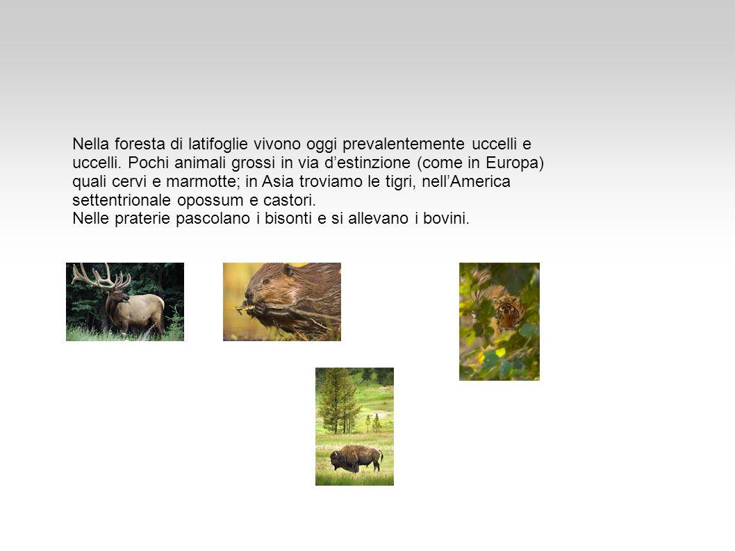 Nella foresta di latifoglie vivono oggi prevalentemente uccelli e uccelli. Pochi animali grossi in via destinzione (come in Europa) quali cervi e marm
