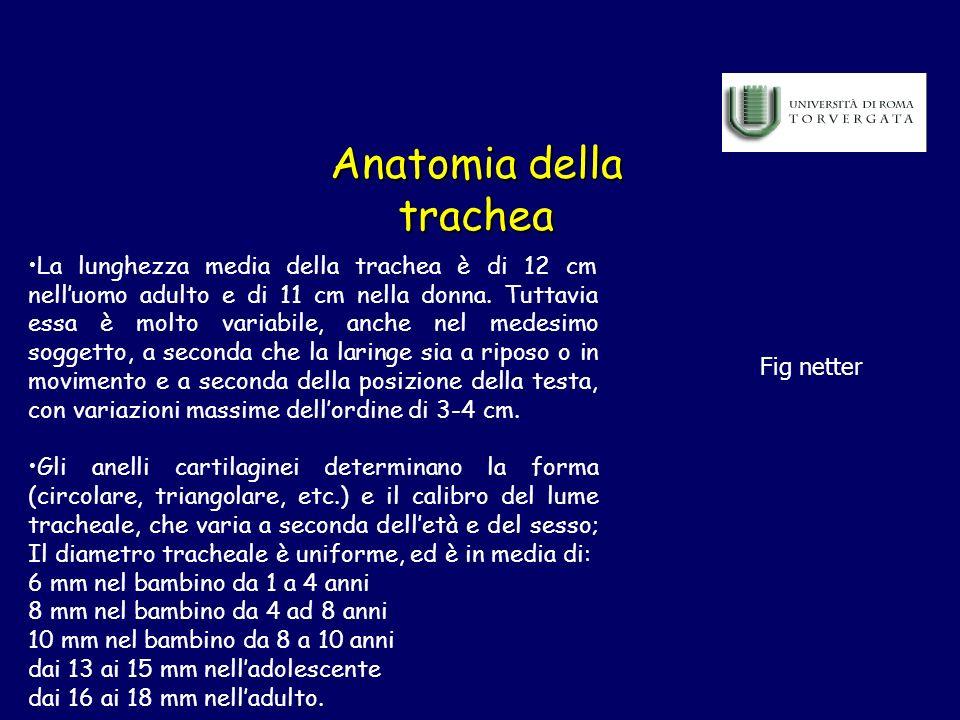 Anatomia della trachea La lunghezza media della trachea è di 12 cm nelluomo adulto e di 11 cm nella donna. Tuttavia essa è molto variabile, anche nel