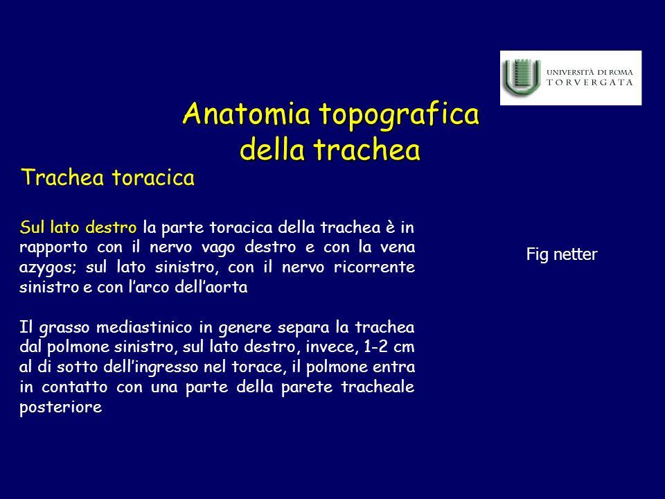 Anatomia topografica della trachea Trachea toracica Sul lato destro la parte toracica della trachea è in rapporto con il nervo vago destro e con la ve