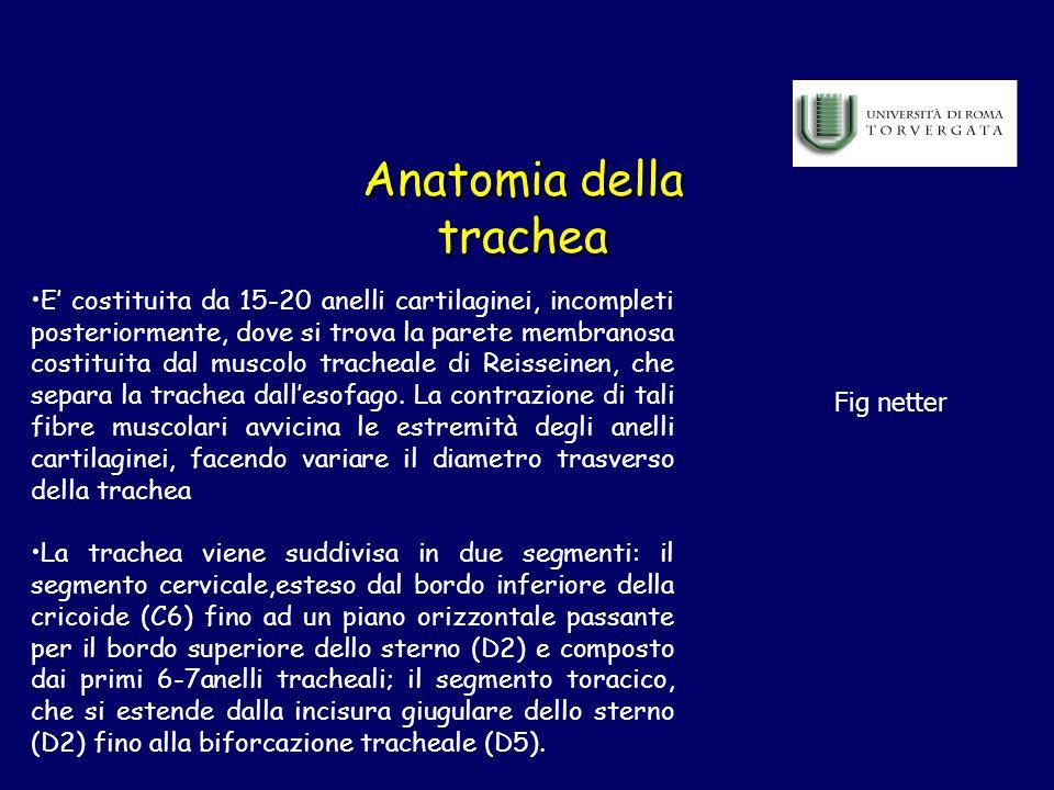 Anatomia della trachea E costituita da 15-20 anelli cartilaginei, incompleti posteriormente, dove si trova la parete membranosa costituita dal muscolo