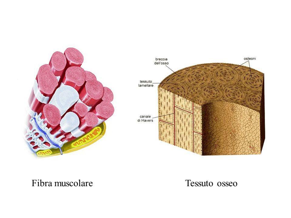 Fibra muscolareTessuto osseo