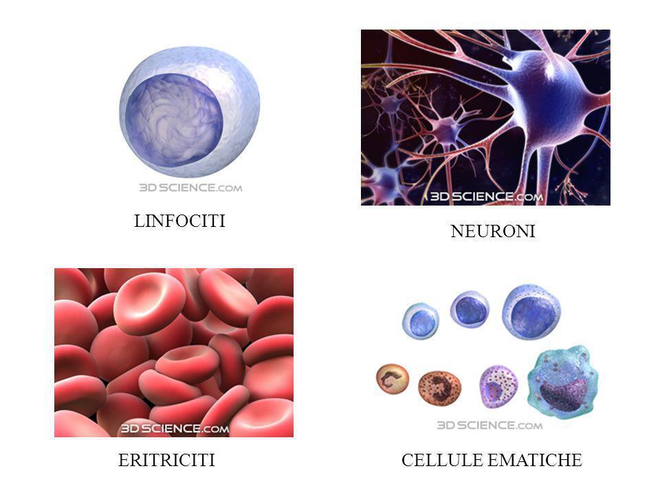 ERITRICITICELLULE EMATICHE NEURONI LINFOCITI