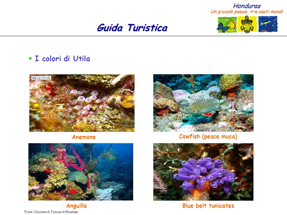 Honduras Un piccolo paese, tre vasti mondi Guida Turistica Fonte: Ministero di Turismo di Honduras I colori di Utila Cowfish (pesce muca) AnguillaBlue