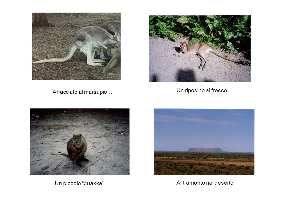 Affacciato al marsupio… Un riposino al fresco Un piccolo quakka Al tramonto nel deserto