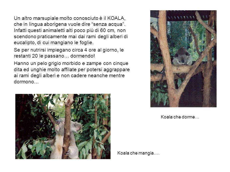 Un altro marsupiale molto conosciuto è il KOALA, che in lingua aborigena vuole dire senza acqua.