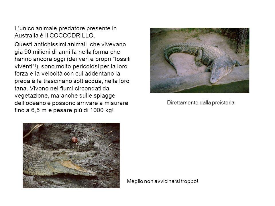 Lunico animale predatore presente in Australia è il COCCODRILLO.