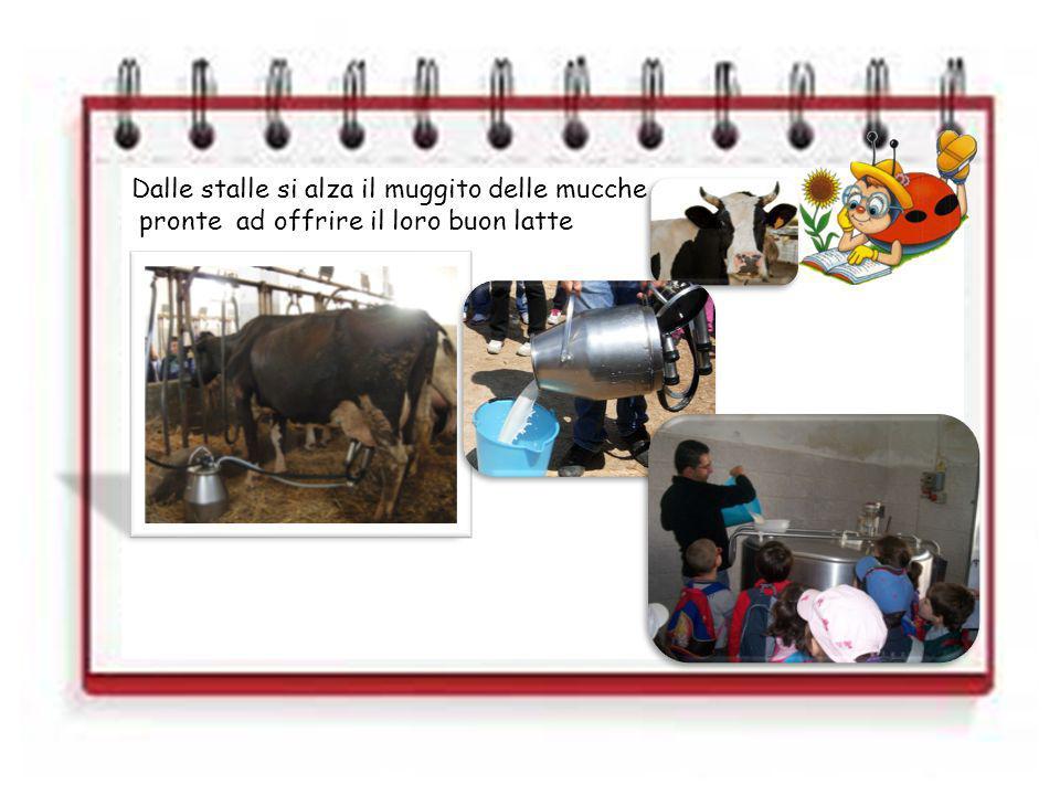 Dalle stalle si alza il muggito delle mucche pronte ad offrire il loro buon latte