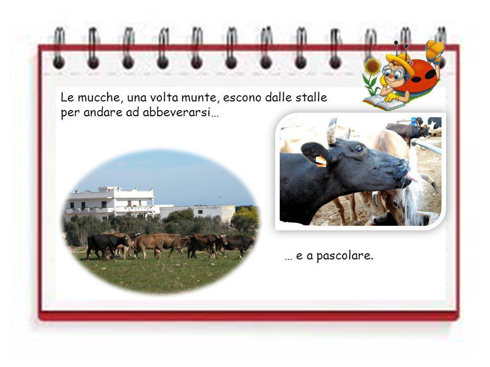 Le mucche, una volta munte, escono dalle stalle per andare ad abbeverarsi… … e a pascolare.