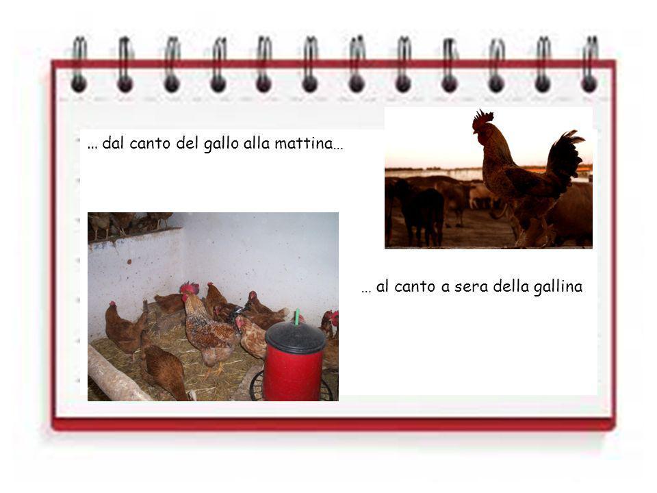 … dal canto del gallo alla mattina… … al canto a sera della gallina