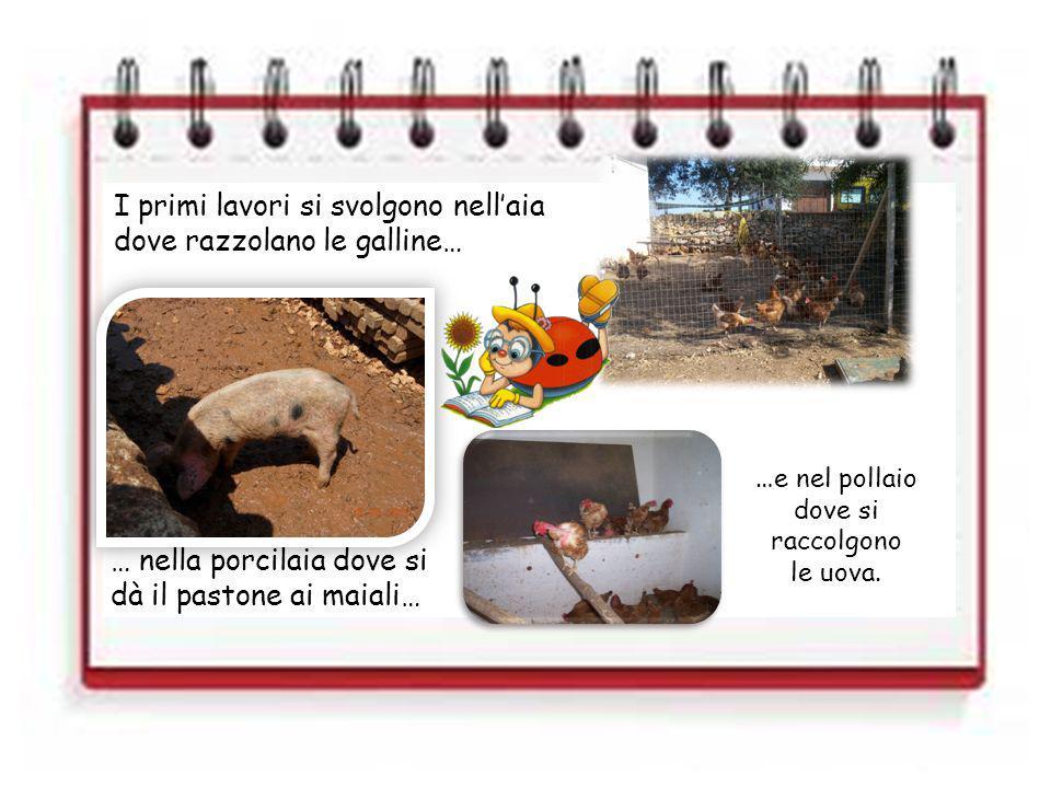 I primi lavori si svolgono nellaia dove razzolano le galline… … nella porcilaia dove si dà il pastone ai maiali… … e nel pollaio dove si raccolgono le