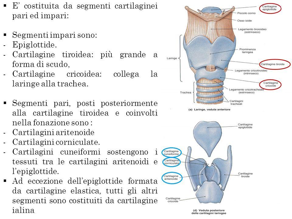E costituita da segmenti cartilaginei pari ed impari: Segmenti impari sono: -Epiglottide. -Cartilagine tiroidea: più grande a forma di scudo, -Cartila
