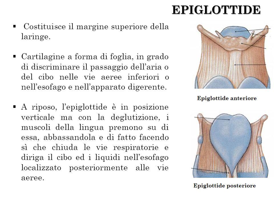 EPIGLOTTIDE Costituisce il margine superiore della laringe. Cartilagine a forma di foglia, in grado di discriminare il passaggio dellaria o del cibo n