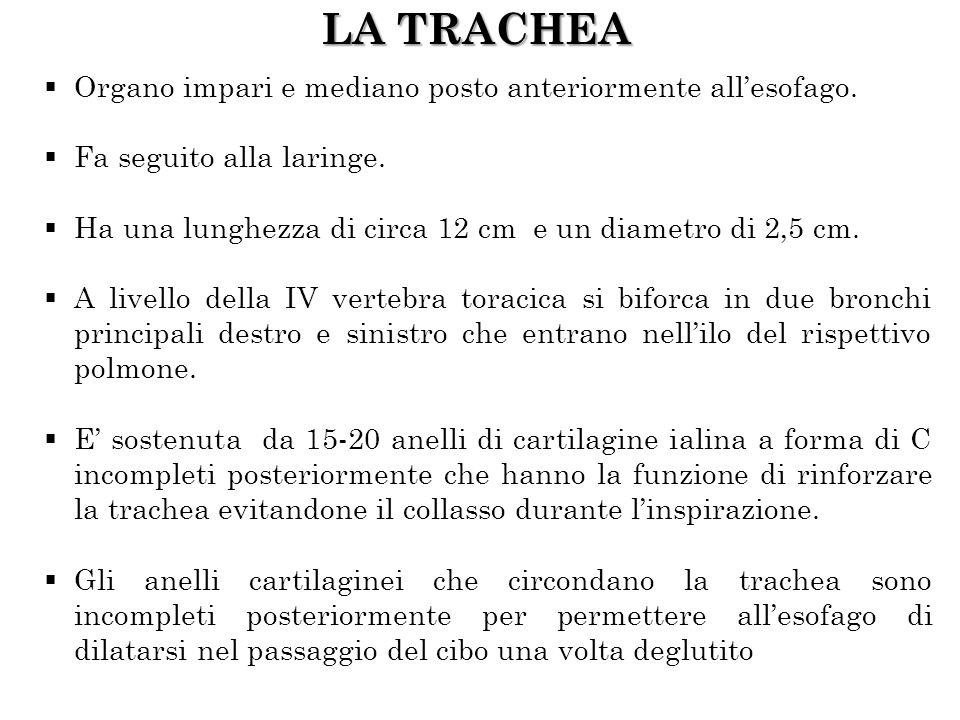 LA TRACHEA Organo impari e mediano posto anteriormente allesofago. Fa seguito alla laringe. Ha una lunghezza di circa 12 cm e un diametro di 2,5 cm. A