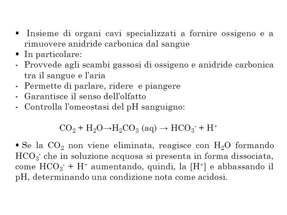 Insieme di organi cavi specializzati a fornire ossigeno e a rimuovere anidride carbonica dal sangue In particolare: -Provvede agli scambi gassosi di o