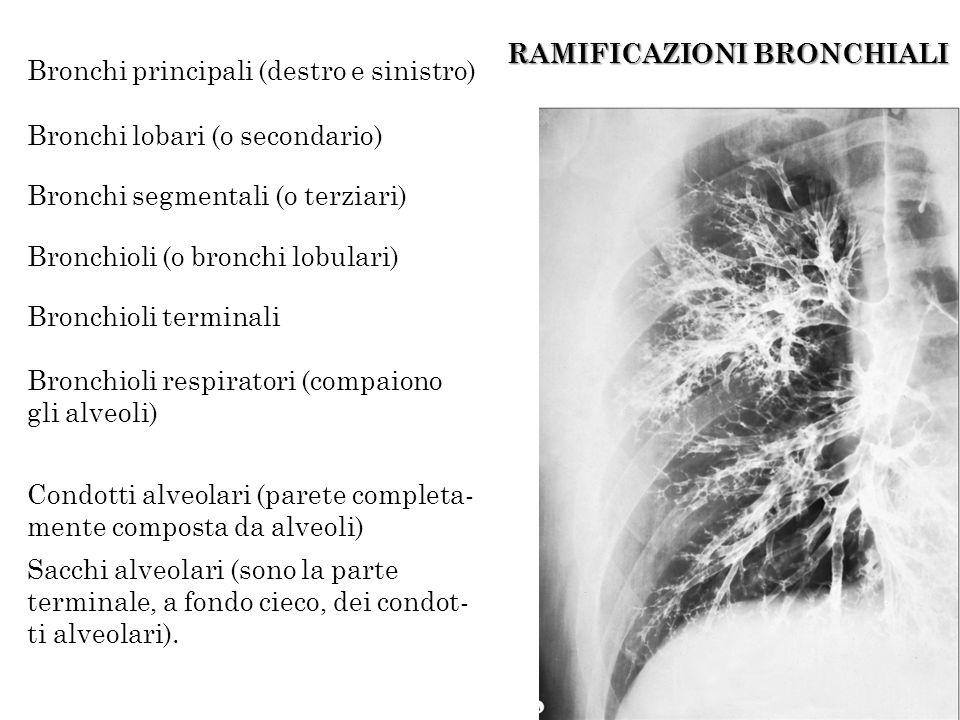 RAMIFICAZIONI BRONCHIALI Bronchi principali (destro e sinistro) Bronchi lobari (o secondario) Bronchi segmentali (o terziari) Bronchioli (o bronchi lo