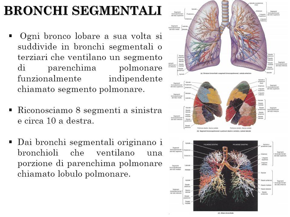 BRONCHI SEGMENTALI Ogni bronco lobare a sua volta si suddivide in bronchi segmentali o terziari che ventilano un segmento di parenchima polmonare funz