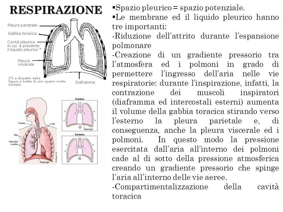 RESPIRAZIONE Spazio pleurico = spazio potenziale. Le membrane ed il liquido pleurico hanno tre importanti: -Riduzione dellattrito durante lespansione
