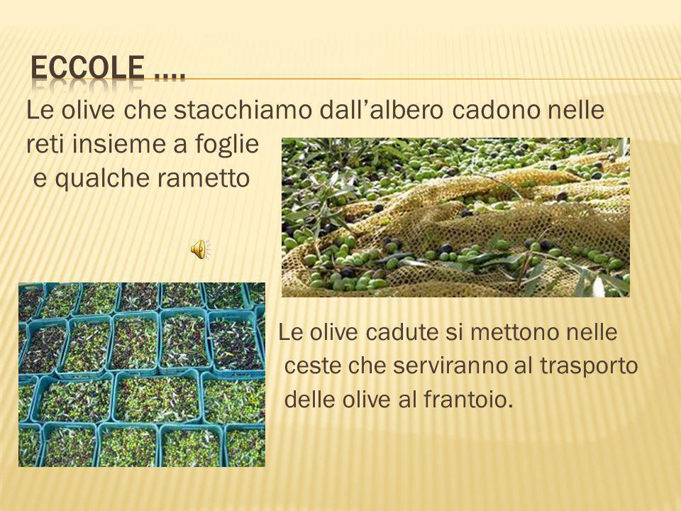 Le olive che stacchiamo dallalbero cadono nelle reti insieme a foglie e qualche rametto Le olive cadute si mettono nelle ceste che serviranno al trasporto delle olive al frantoio.