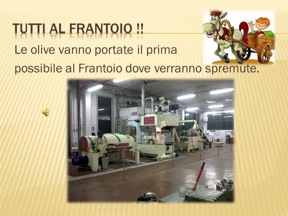 Le olive vanno portate il prima possibile al Frantoio dove verranno spremute.